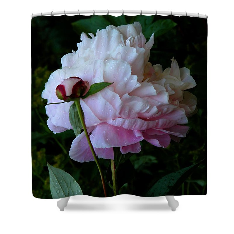Peony Shower Curtain featuring the photograph Rain-soaked Peonies by Rona Black
