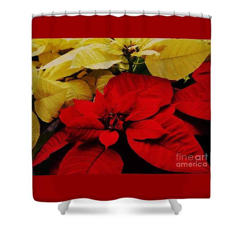 Poinsettias Seasonal Image Nature Art Christmas Cards Christmas Decoration Holiday Plant Floral Perennial Artwork For The Holidays Vibrant Red Leaves Soft White Leaves Canvas Print Metal Frame Wood Print Metal Frame Available On Greeting Cards Spiral Note Books Mugs Shower Curtains Duvet Covers New Fleece Blankets Pouches Weekender Tote Bags And Phone Cases Shower Curtain featuring the photograph Red And White Poinsettias by Marcus Dagan