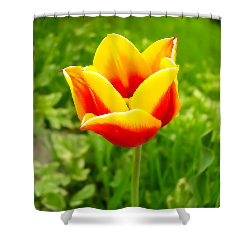 Red And Yellow Tulip Shower Curtain featuring the photograph Red And Yellow Tulip by Cynthia Woods