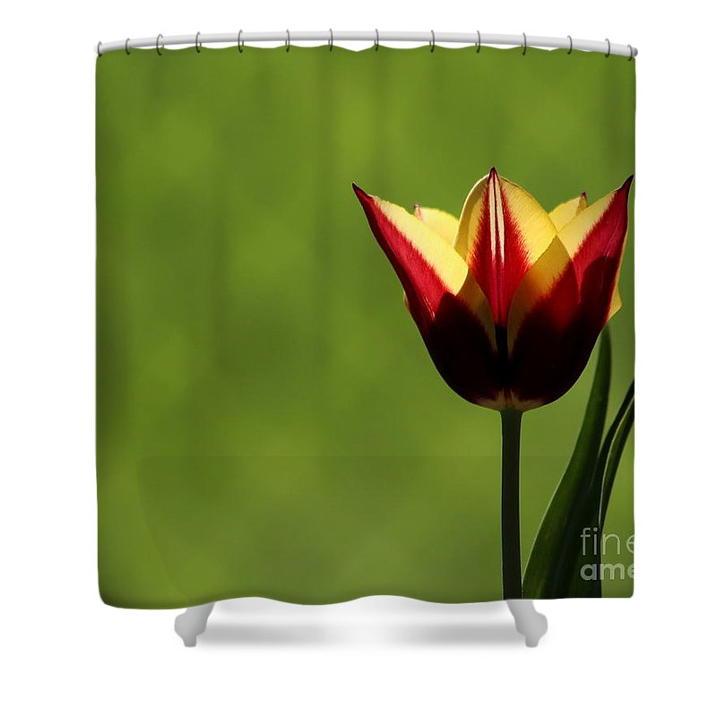 Tulip Shower Curtain featuring the photograph Red And Yellow Tulip by Kenny Glotfelty