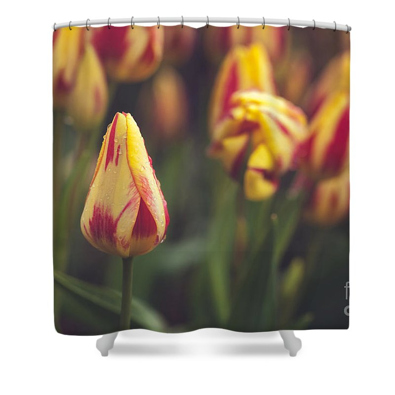 Tulips Shower Curtain featuring the photograph Red And Yellow Tulips by Mary Smyth