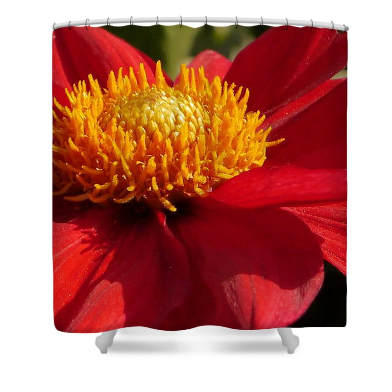 Dahlia Shower Curtain featuring the photograph Red Dahlia Starlet by Christiane Schulze Art And Photography