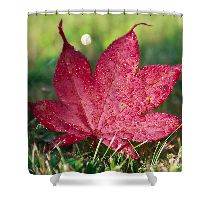 Maple Shower Curtain featuring the photograph Red Maple Leaf And Dew by Eti Reid