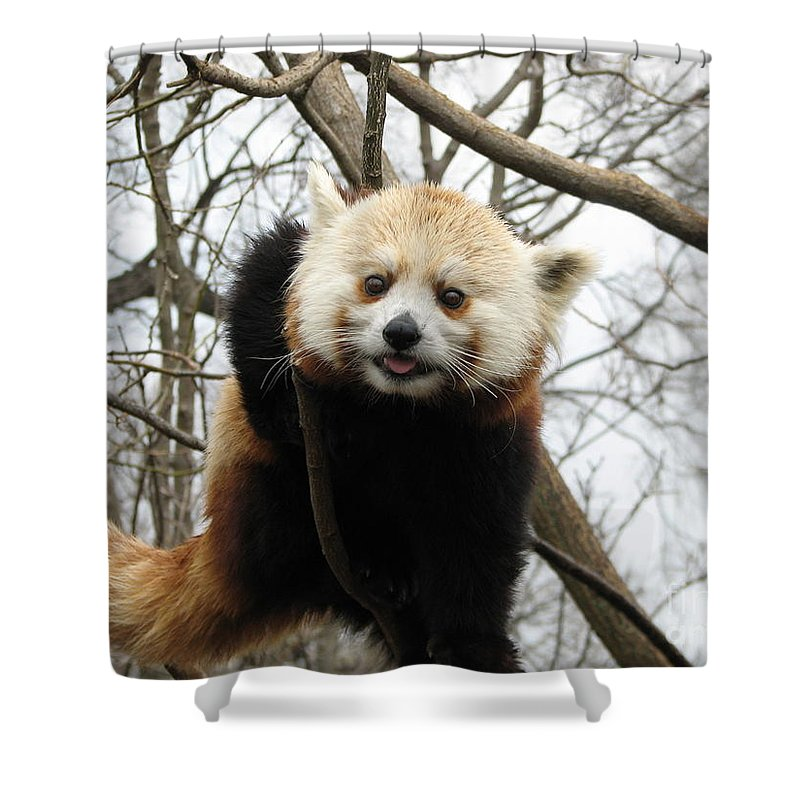 Red Panda Shower Curtain featuring the photograph Red Panda Bear In A Tree by DejaVu Designs