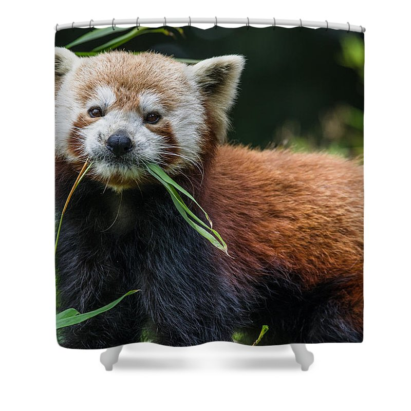 Red Panda Shower Curtain featuring the photograph Red Panda With An Attitude by Greg Nyquist