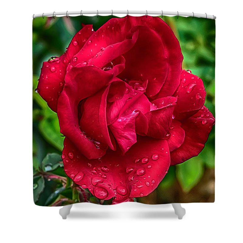 Rose Shower Curtain featuring the photograph Red Red Rose by John Haldane