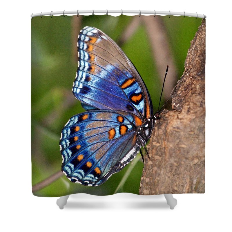 Butterfly Shower Curtain Featuring The Photograph Red Spotted Purple By Sandy Keeton