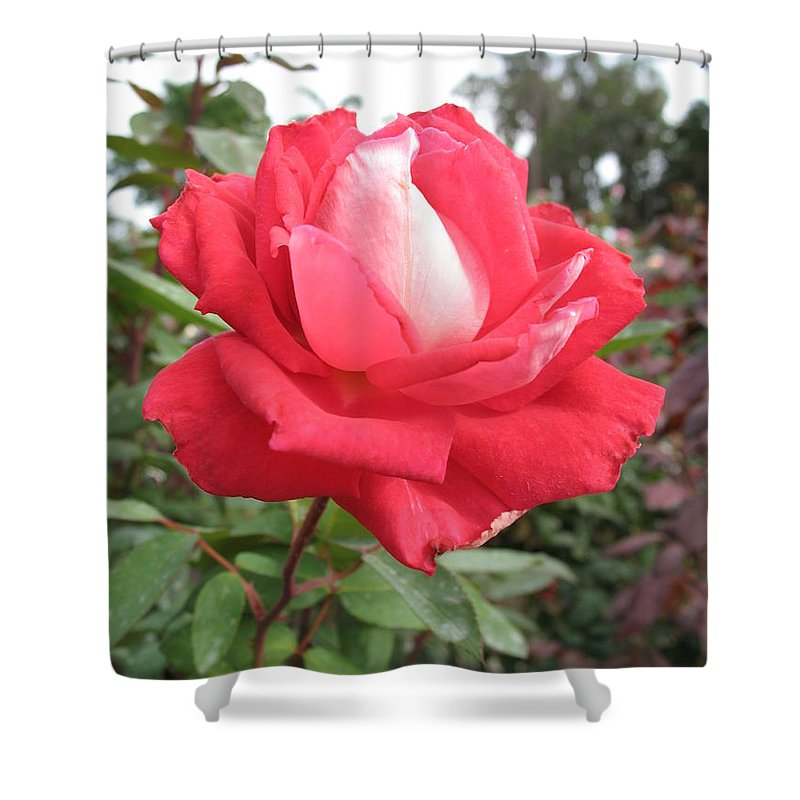 Rose Shower Curtain featuring the photograph Red-white Rose by Christiane Schulze Art And Photography