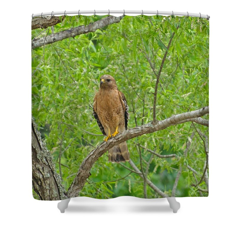 Bird Shower Curtain featuring the photograph Red-shouldered Hawk by Donna Brown