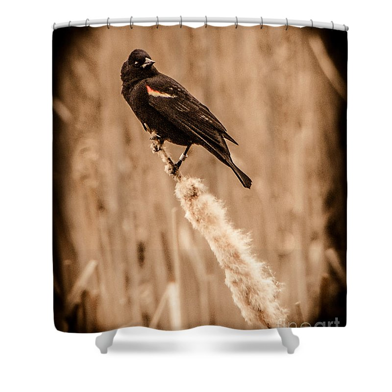 Red Wing Blackbird Shower Curtain featuring the photograph Redwing Blackbird On Cattail by Grace Grogan
