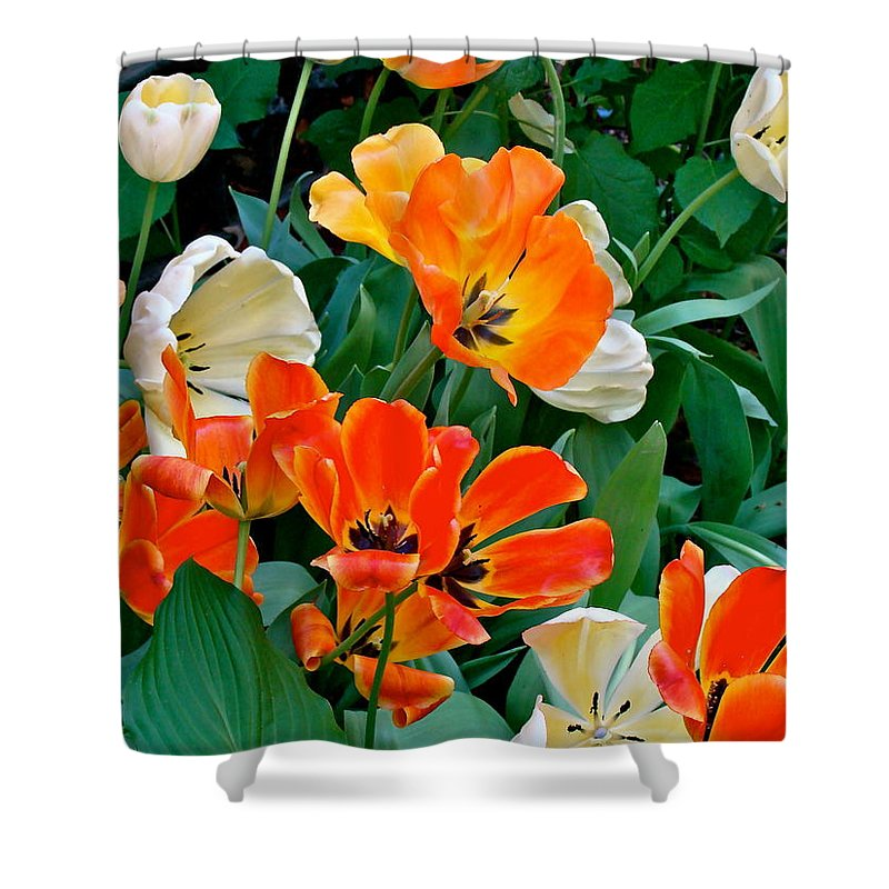 Tulips Shower Curtain featuring the photograph Rembrant's Garden by Ira Shander