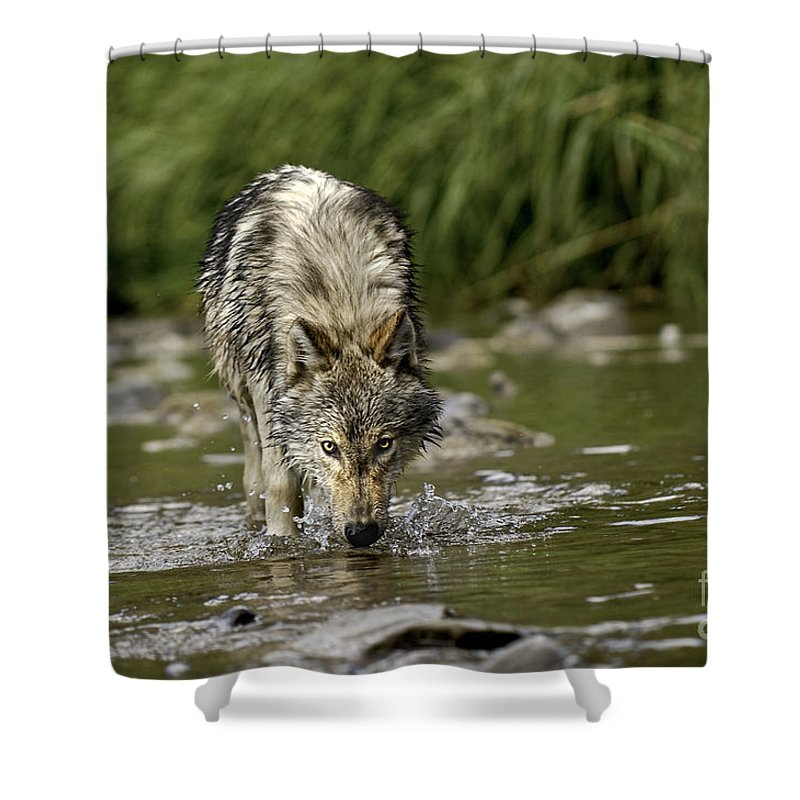 Wolf Shower Curtain featuring the photograph Replenish by Wildlife Fine Art