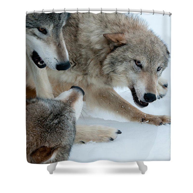 Wolves Shower Curtain featuring the photograph Right Of Passage by Sandra Bronstein