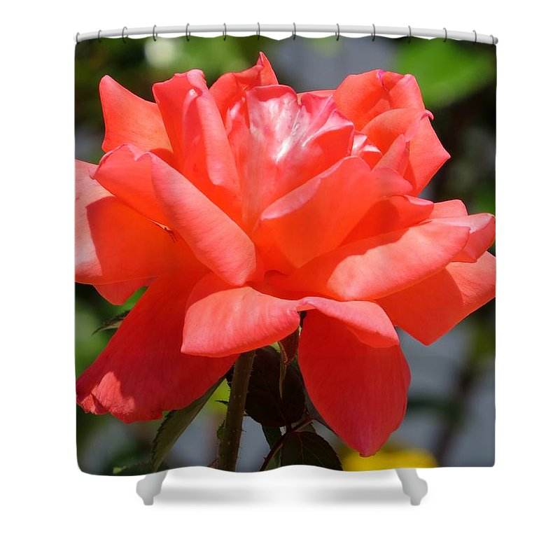 Pink Rose Shower Curtain featuring the photograph Rose II by Zina Stromberg