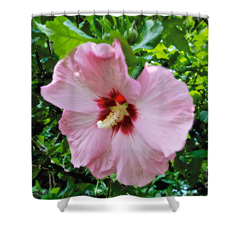 Rose Of Sharon Shower Curtain featuring the photograph Rose Of Sharon by William Norton