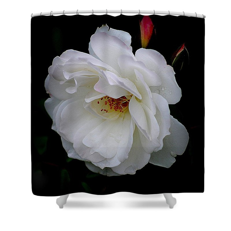 Rose Shower Curtain featuring the photograph Rose Perfection by Kathy Sampson
