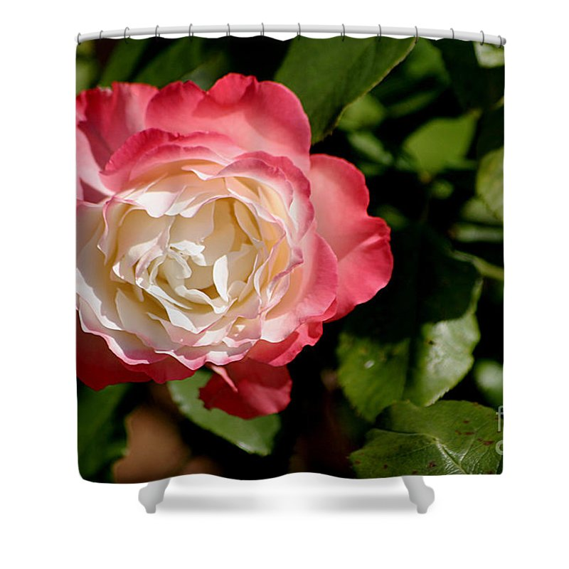 Rose Shower Curtain featuring the photograph Rose Ruffles by Living Color Photography Lorraine Lynch