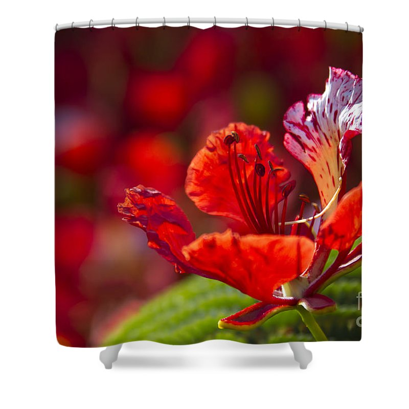 Royal Poinciana Shower Curtain featuring the photograph Royal Poinciana - Flamboyant - Delonix Regia by Sharon Mau