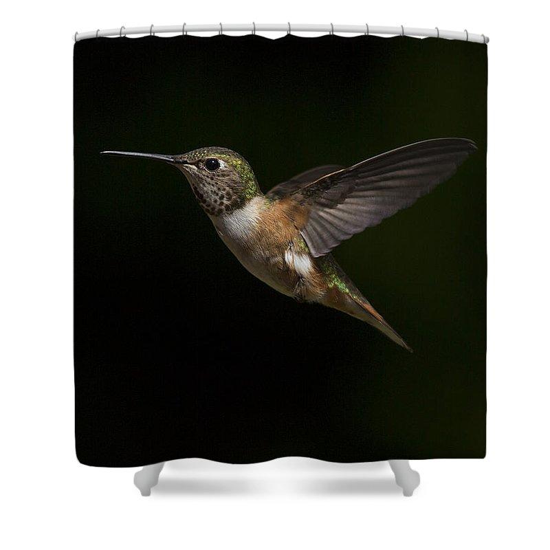 Rufous Shower Curtain featuring the photograph Rufous Hummingbird by Bob Stevens