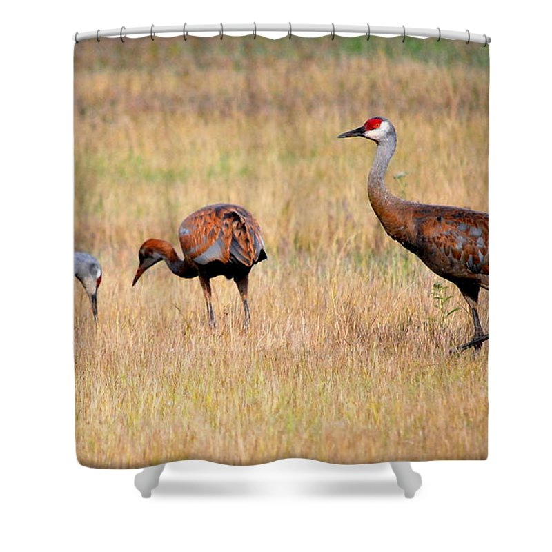 Bird Shower Curtain featuring the photograph Sandhill Crane Family by Kathy Sampson