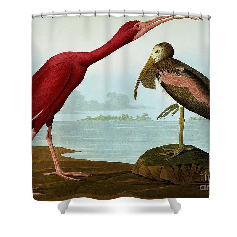 Bird Shower Curtain featuring the painting Scarlet Ibis by John James Audubon