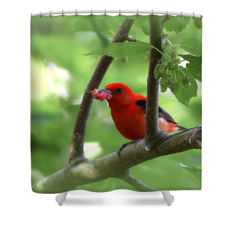Scarlet Tanager Shower Curtain featuring the photograph Scarlet Tanager - Fallout by Travis Truelove