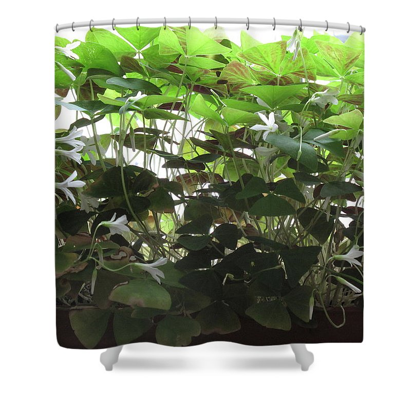 Plants Shower Curtain featuring the photograph Shamrocks For Evelyn by Barbara McDevitt