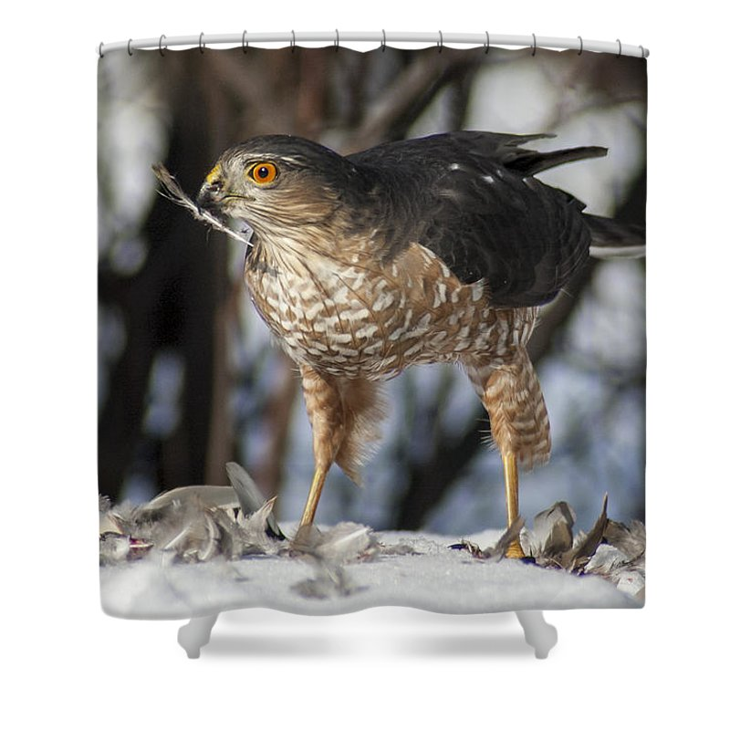 Hawk Shower Curtain featuring the photograph Sharp-shinned Hawk And Feather by Richard Kitchen