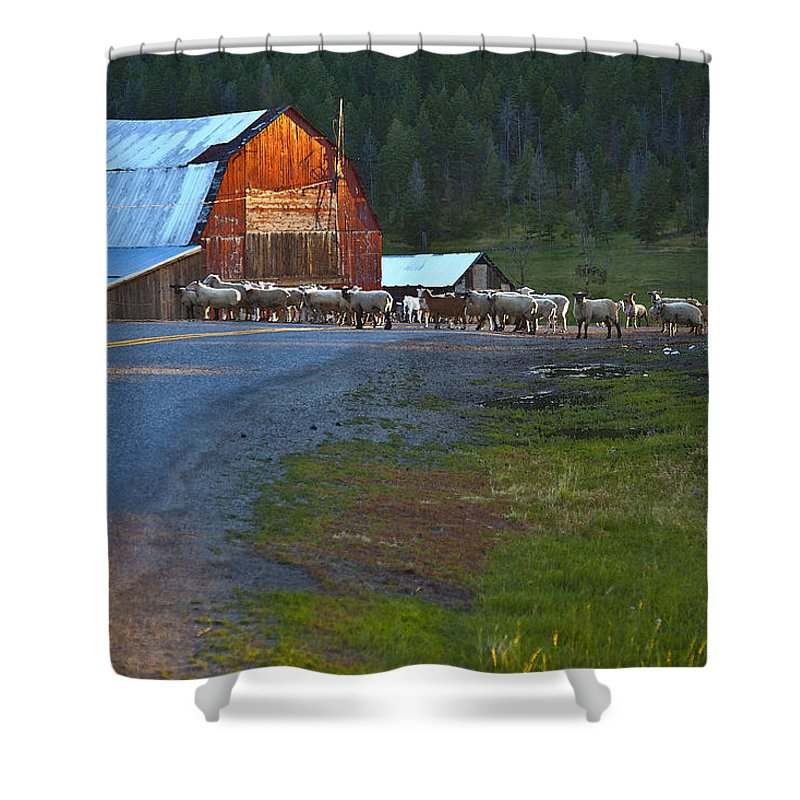 Red Barn Shower Curtain featuring the photograph Sheep Crossing by Theresa Tahara