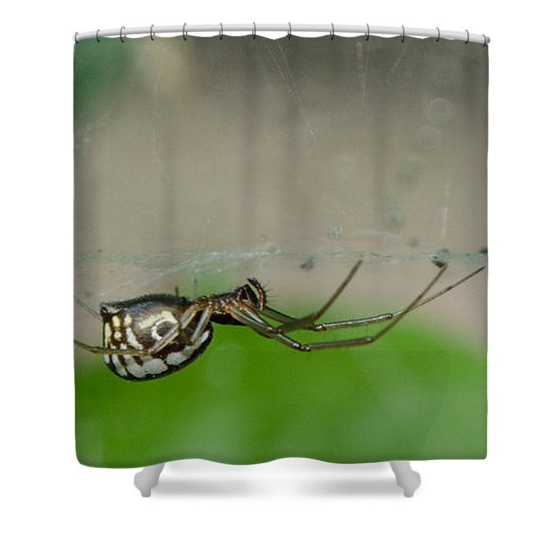 Spider Shower Curtain featuring the photograph Sheet Web Weaver Spider by Donna Brown