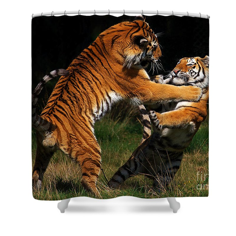 Two Shower Curtain featuring the photograph Siberian Tigers In Fight by Nick Biemans