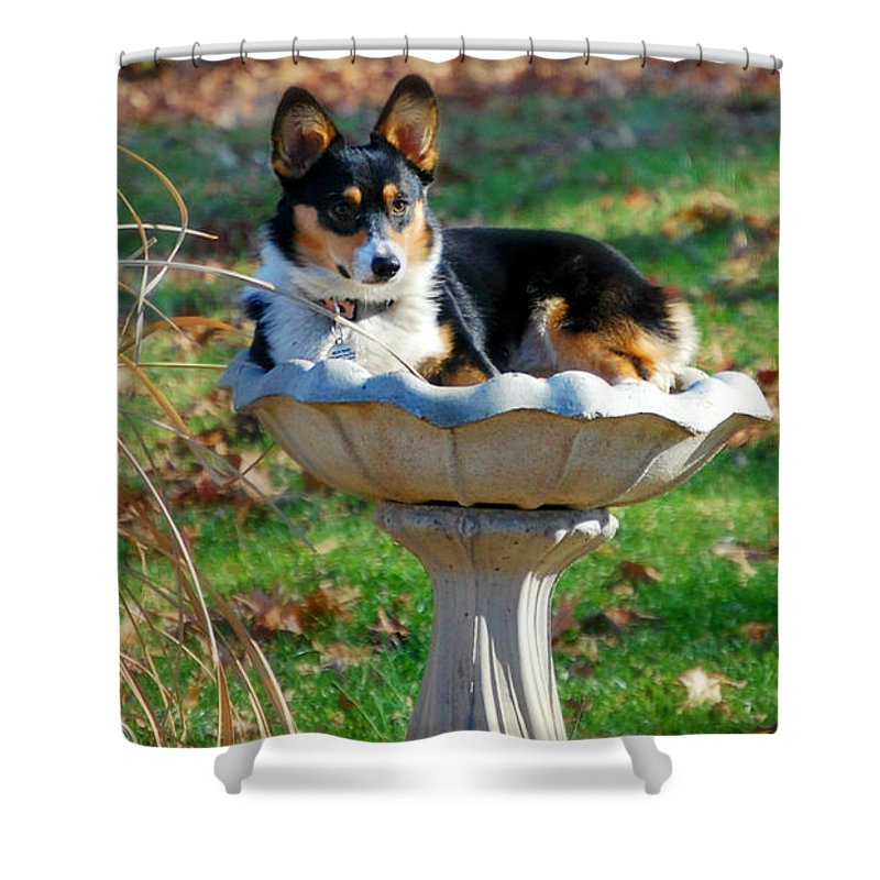 2fc27ee7116e Dog Photo.portraits Shower Curtain featuring the photograph Silly Corgi In  Bird Bath by Peggy