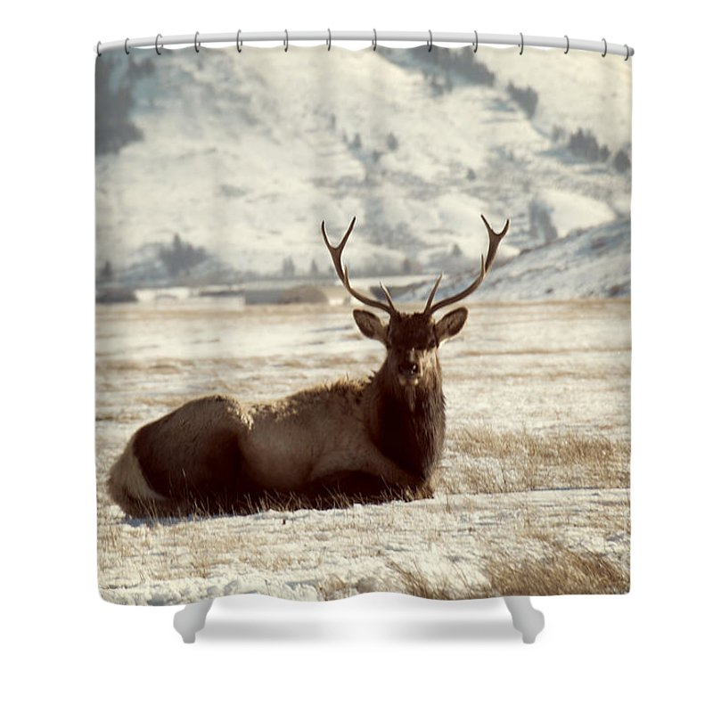 Animal Shower Curtain Featuring The Photograph Sitting Bull Elk By Juli Scalzi