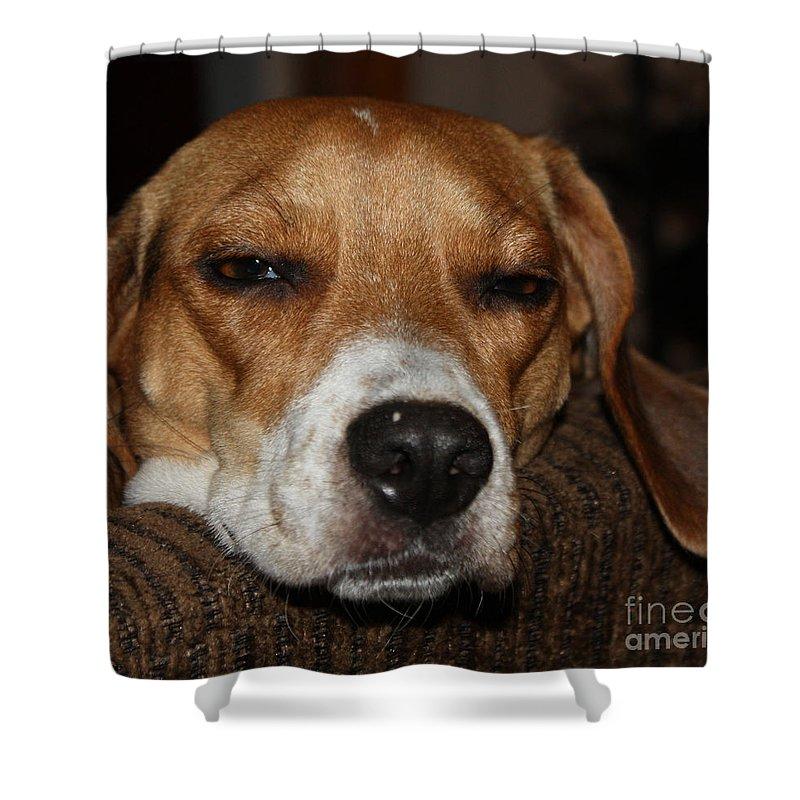 Sleepy Beagle Shower Curtain featuring the photograph Sleepy Beagle by John Telfer