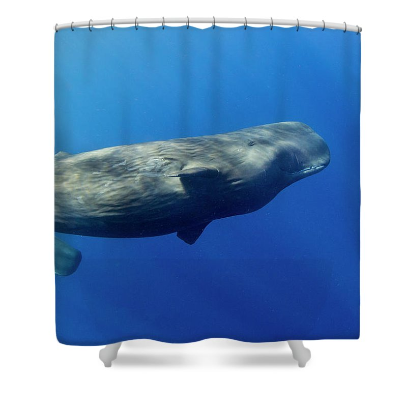 Underwater Shower Curtain featuring the photograph Sperm Whale Pyseter Macrocephalus by Stephen Frink
