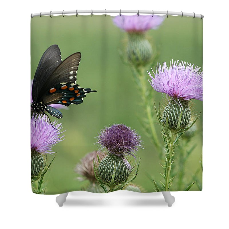 Spicebush Shower Curtain featuring the photograph Spicebush Swallowtail Butterfly On Bull Thistle Wildflowers by Kathy Clark