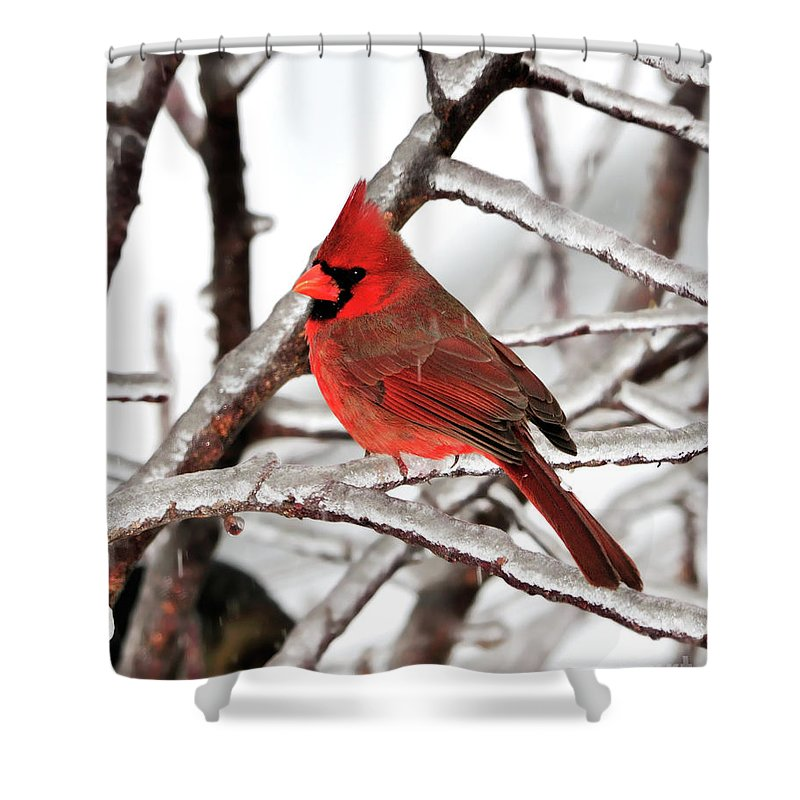 Northern Cardinal Shower Curtain featuring the photograph Splash Of Red by Betty LaRue