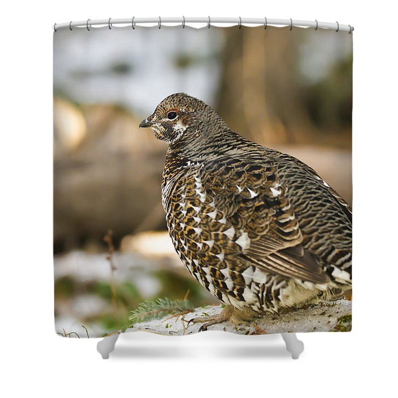 Autumn Shower Curtain featuring the photograph Spruce Grouse In The Snow by Brandon Smith