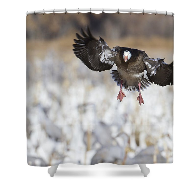 Blue Morph Snow Goose Shower Curtain featuring the photograph Standing Out by Bryan Keil