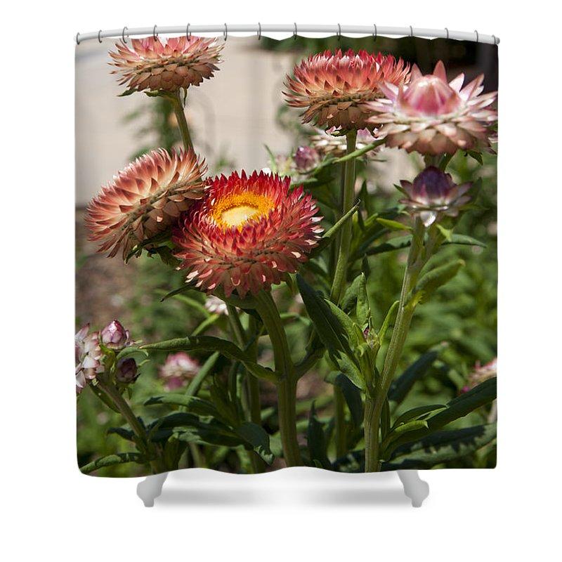 Strawflower Shower Curtain featuring the photograph Straw Flowers Xerochrysum Bracteatum by Jason O Watson