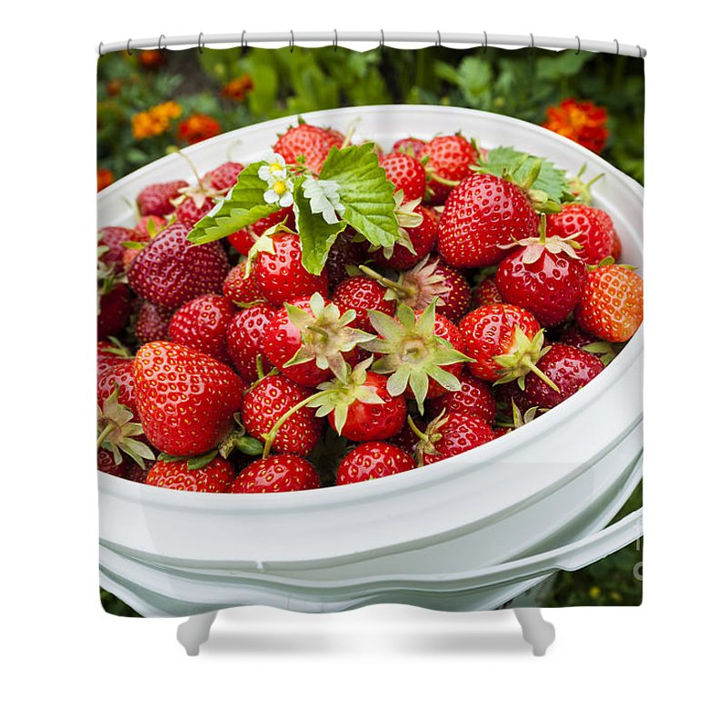 Strawberries Shower Curtain featuring the photograph Strawberry Harvest by Elena Elisseeva