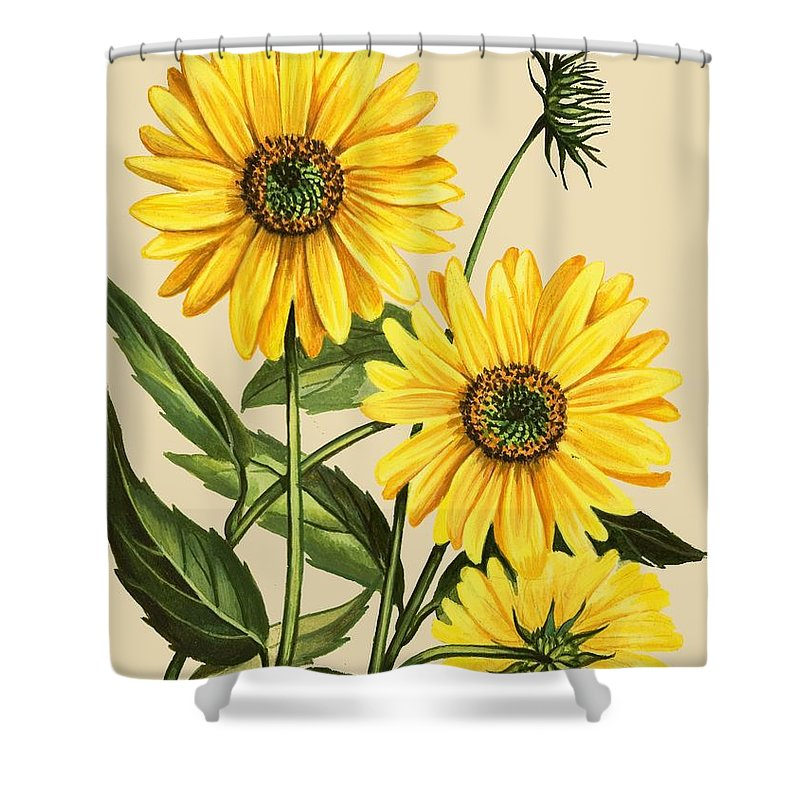 Sunflower Shower Curtain Featuring The Drawing By English School