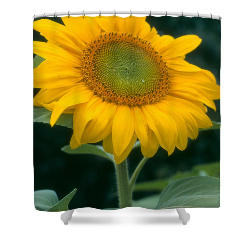 Flower Shower Curtain featuring the photograph Sunflower In Seattle by Heather Kirk