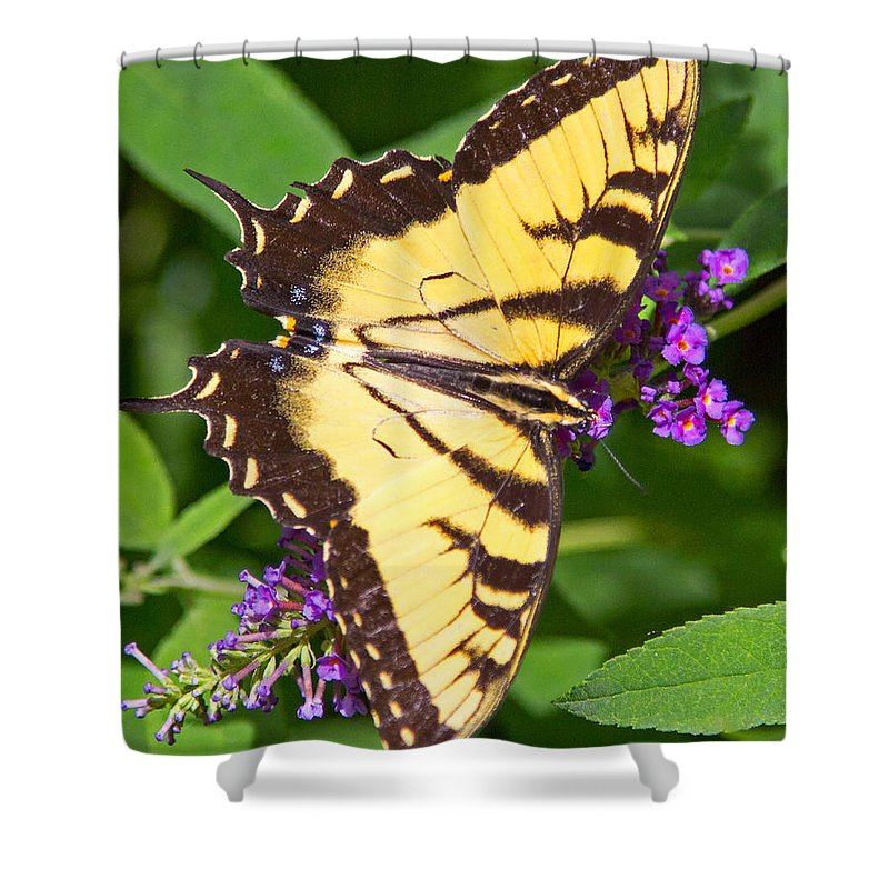 Butterfly Shower Curtain featuring the photograph Swallow Tail Butterfly by Deb Buchanan