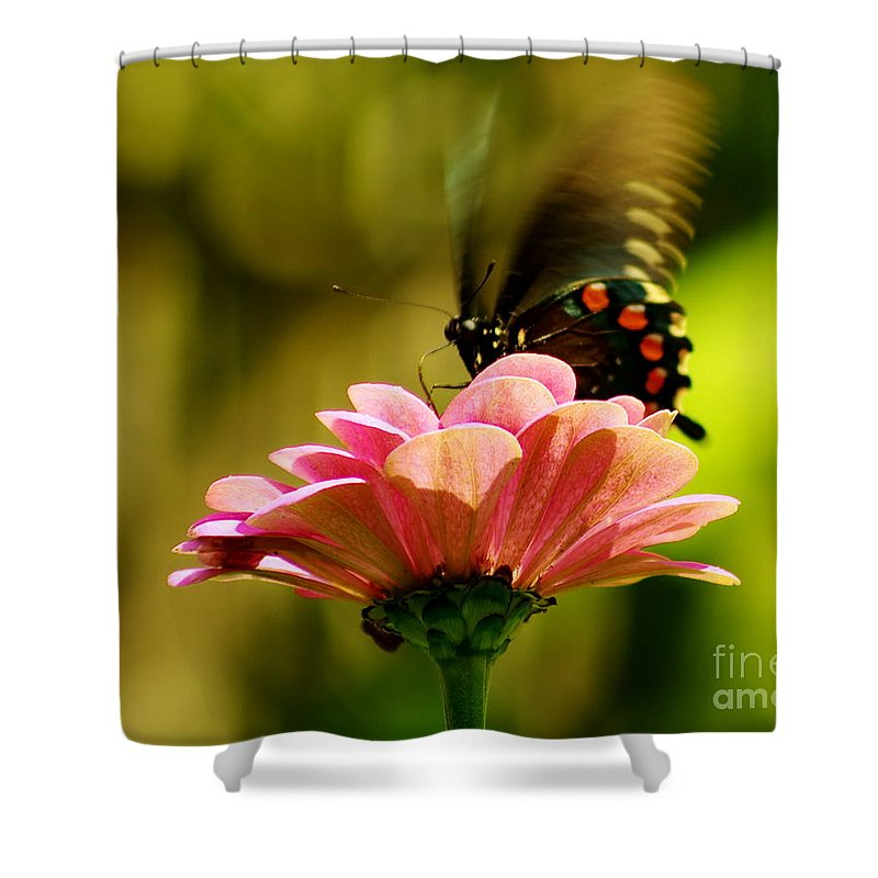 Pipevine Swallowtail Shower Curtain featuring the photograph Swallowtail Motion by Kitrina Arbuckle