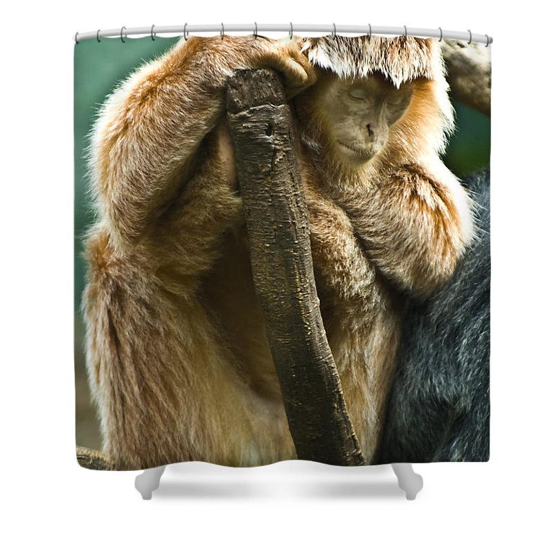 Ape Shower Curtain featuring the photograph Taking A Nap by Anthony Sacco
