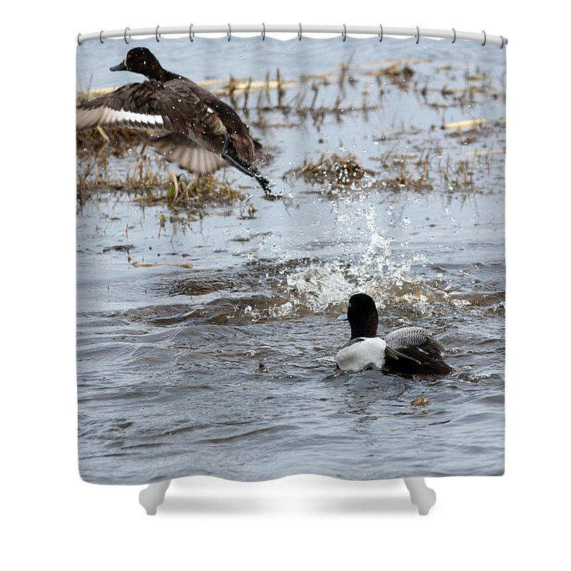Lesser Scaup Duck Shower Curtain featuring the photograph Taking Wing by Lori Tordsen