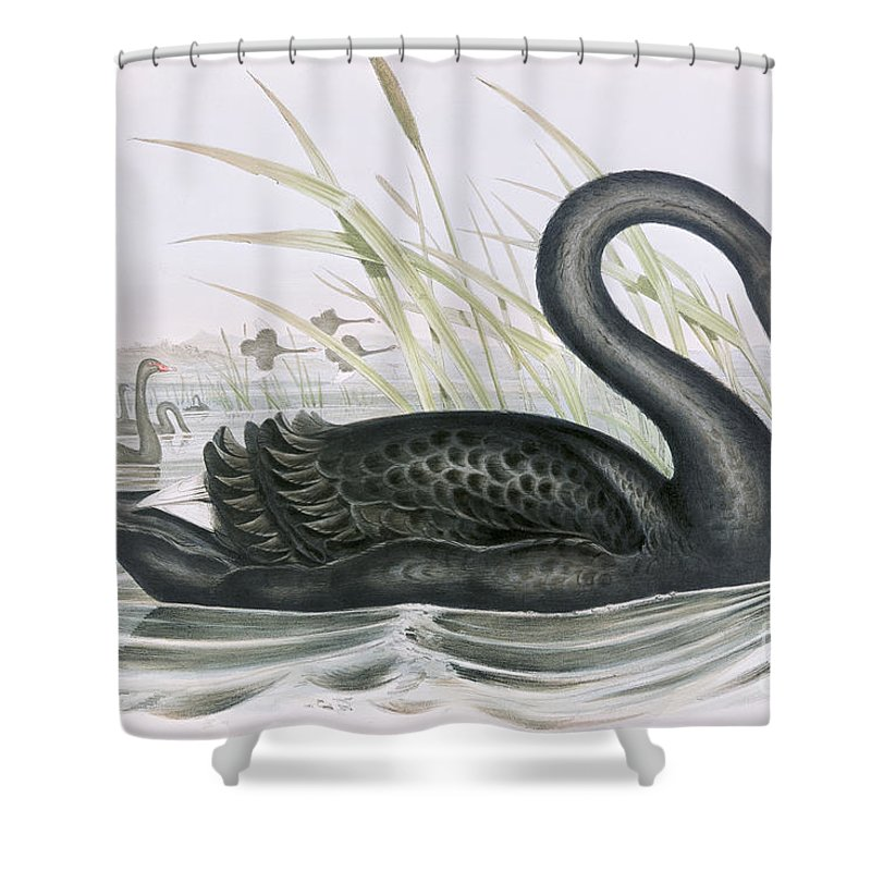 Black Swan Shower Curtain Featuring The Painting By John Gould