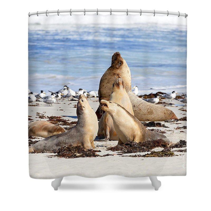 Sea Lions Shower Curtain featuring the photograph The Choir by Mike Dawson
