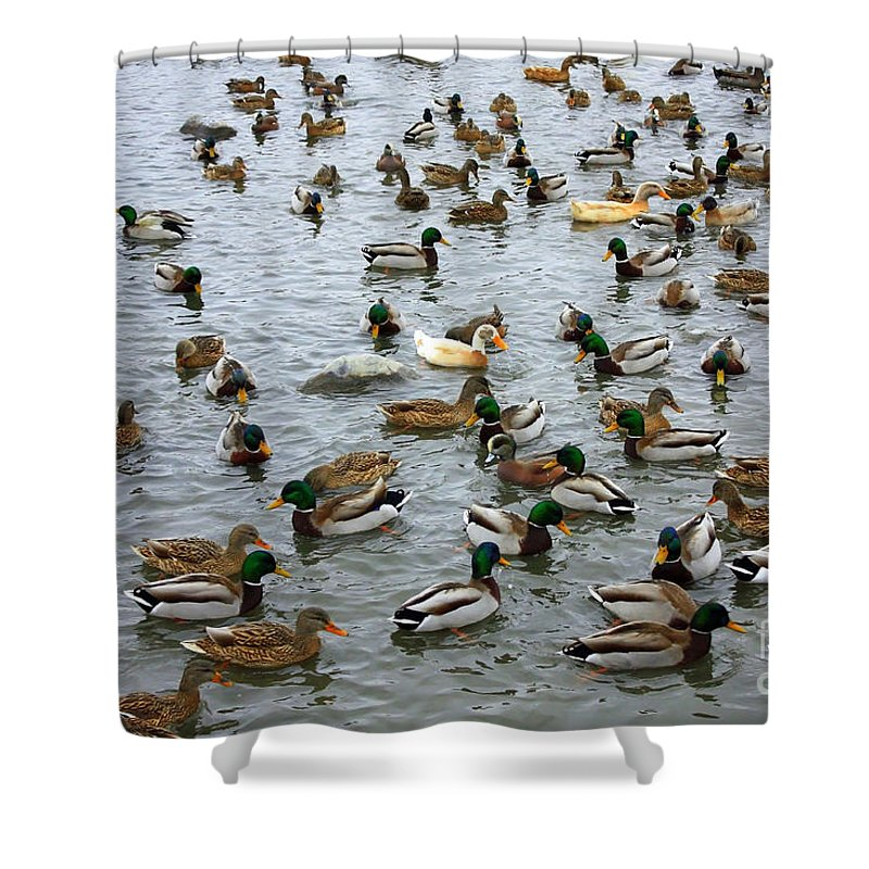 Duck Shower Curtain featuring the photograph The Duck Pond by Carol Groenen